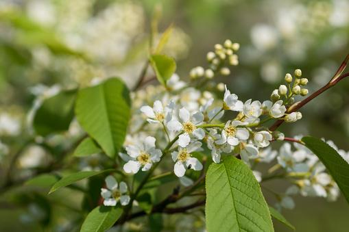 Prunus padus,  bird cherry, hackberry flowers on branches closeup selective focus
