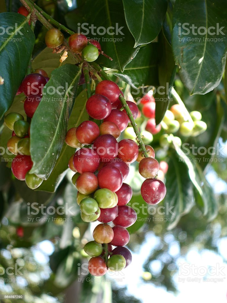 Prunus rosaceae tree stock photo