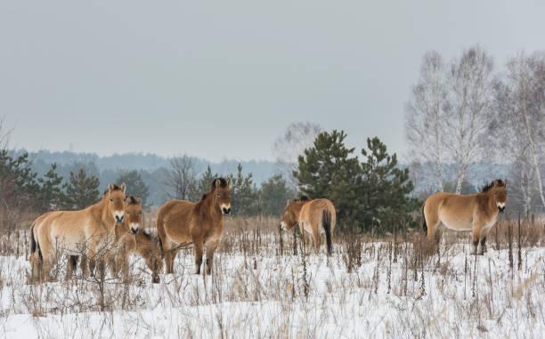 Przewalski horses chernobyl picture id649669680?b=1&k=6&m=649669680&s=612x612&w=0&h=ugehgp7ij1l2rirm ltgoozaait3qgryqkgonp3hoo8=