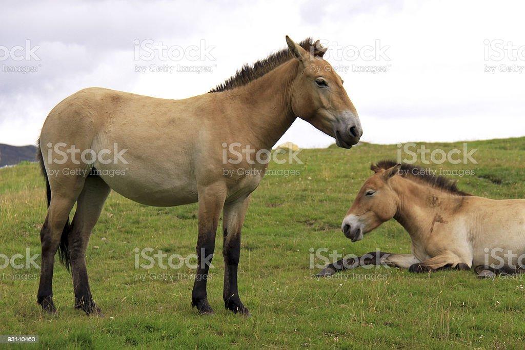 Przewalskipferd der wilde Pferde Lizenzfreies stock-foto