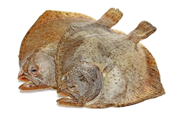 psetta maxima (rodaballo pescado) de cerca sobre fondo blanco - rodaballo fotografías e imágenes de stock