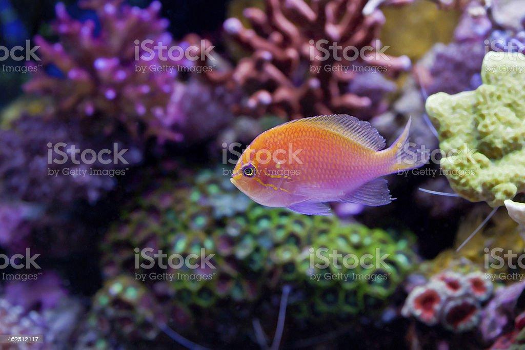 Pseudanthias squamipinnis Orange fish stock photo