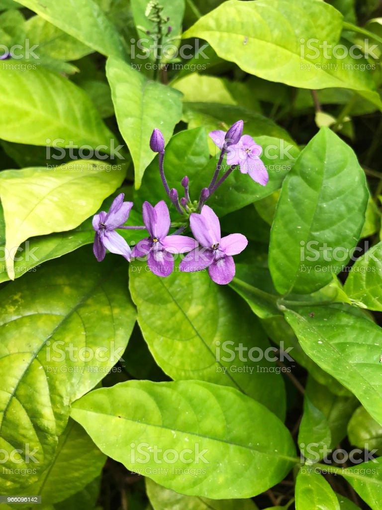 Pseuderanthemum Graciflorum oder Pseuderanthemum Crenulatum oder Pseuderanthemum Andersonii oder violetten Ixora oder blaue Crossandra oder Florida Dämmerung oder blauen Dämmerung Blumen. - Lizenzfrei Baumblüte Stock-Foto