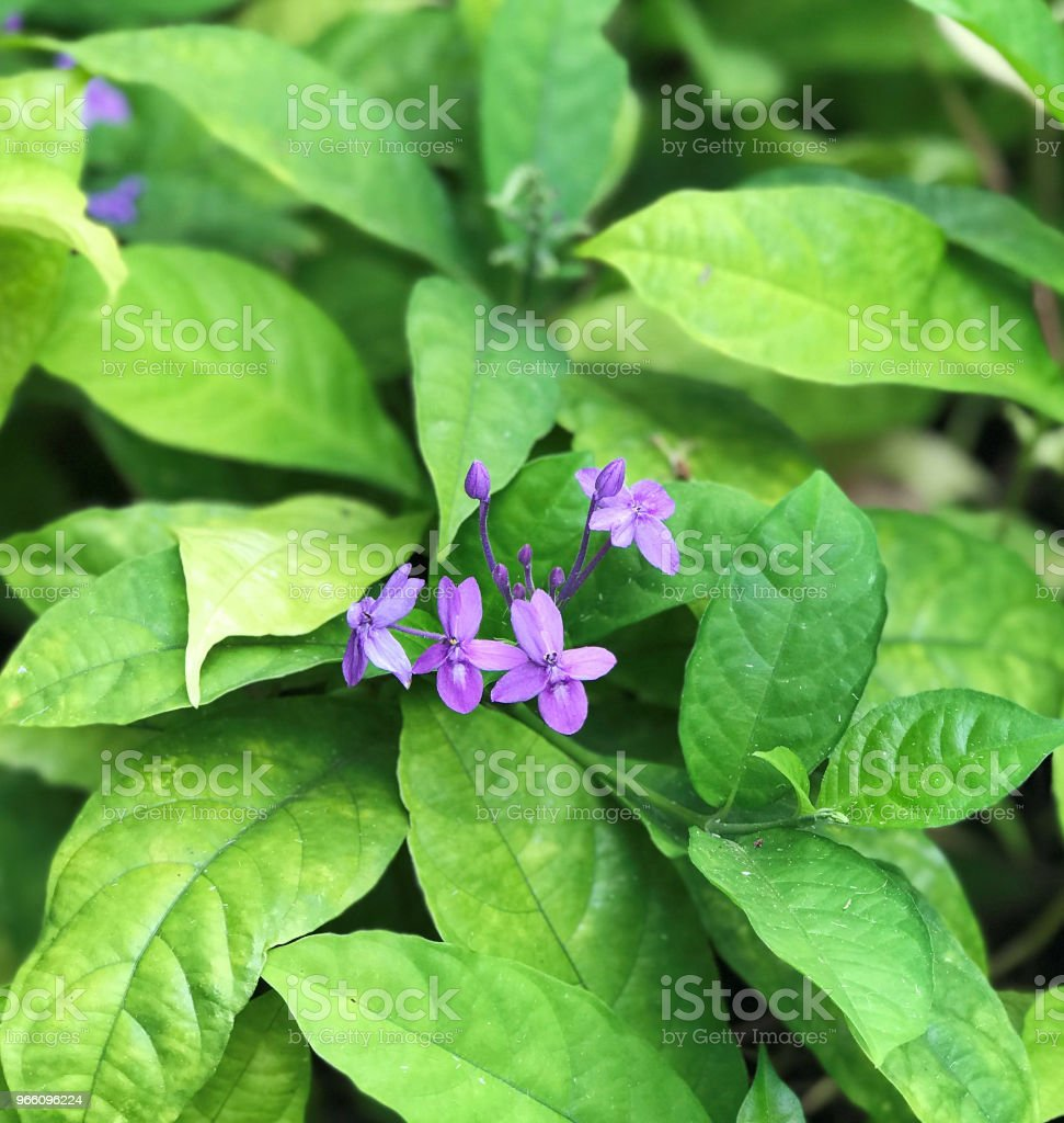 Pseuderanthemum graciflorum eller Pseuderanthemum crenulatum eller Pseuderanthemum andersonii eller violett ixora eller blå crossandra eller Florida twilight eller blå skymning blommor. - Royaltyfri Beskrivande färg Bildbanksbilder