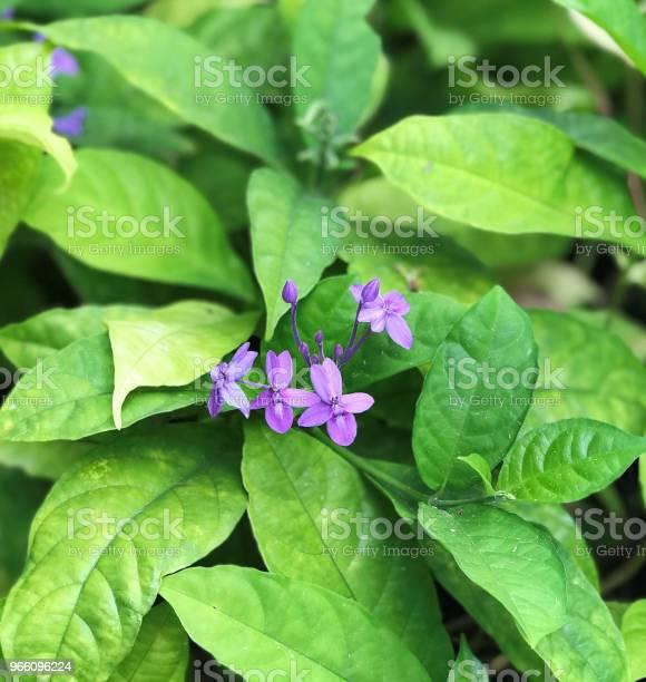 Pseuderanthemum Graciflorum Eller Pseuderanthemum Crenulatum Eller Pseuderanthemum Andersonii Eller Violett Ixora Eller Blå Crossandra Eller Florida Twilight Eller Blå Skymning Blommor-foton och fler bilder på Beskrivande färg