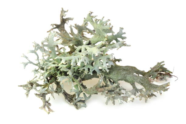 pseudevernia furfuracea - algas fondo blanco fotografías e imágenes de stock
