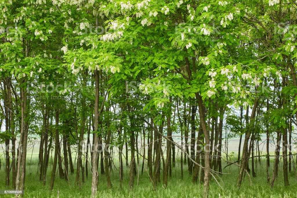 Pseudo acacia (black locust) trees stock photo