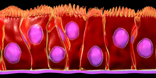 Pseudostratified columnar epithelium Pseudostratified columnar epithelium, 3D illustration. Epithelium found in trachea and upper part of digestive tract mucus stock pictures, royalty-free photos & images