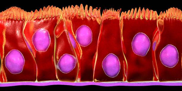 Pseudostratified columnar epithelium stock photo