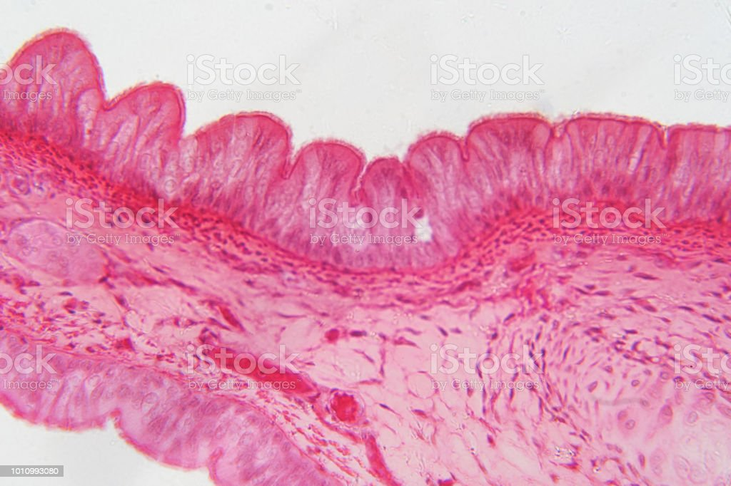 Pseudostratified epithelium is a type of epithelium that, though comprising only a single layer of cells. stock photo