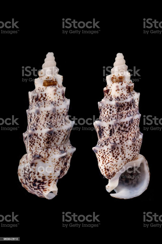 Pseudovertagus aluco/aluco vertagus - Royalty-free Animal Shell Stock Photo
