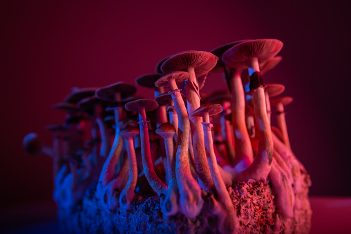 psychedelic mushrooms Psilocybe Cubensis microdosing