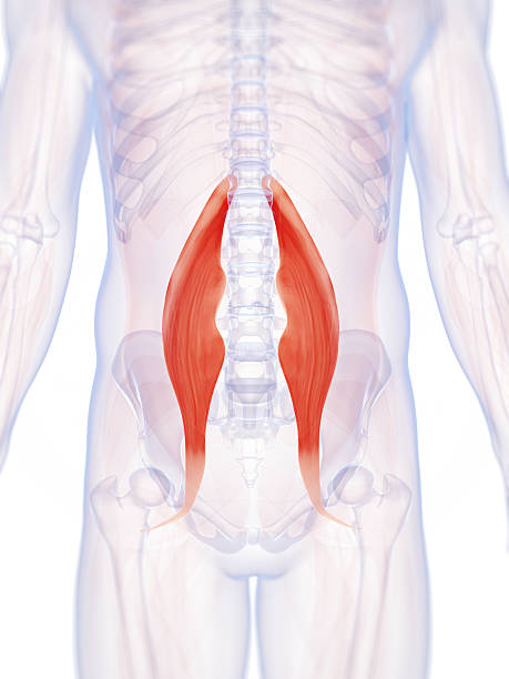psoas major muscle stock photo