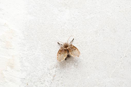 Psychoda cinerea, Psychodidae, Satara, Maharashtra, India