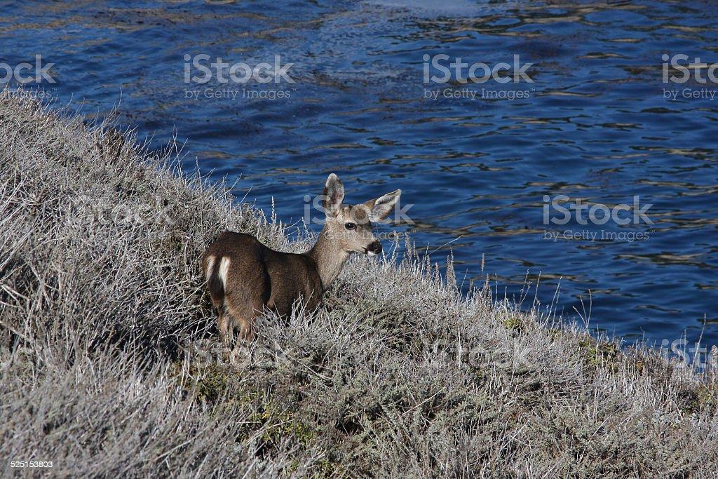 Pt. Lobos Black-tailed Mule Deer stock photo