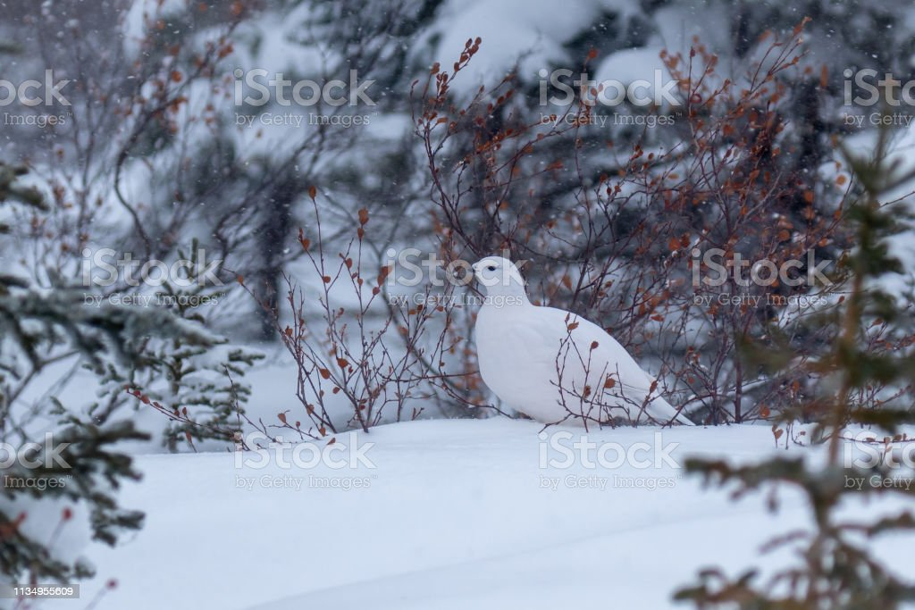 Ptarmigan stock photo