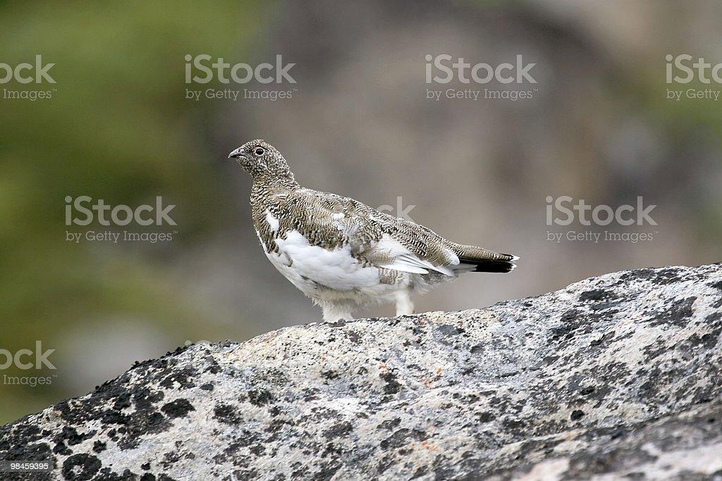 사할린뇌조 (Lagopus mutus royalty-free 스톡 사진