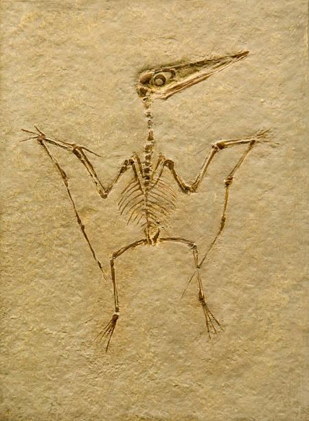 Pterodaktylus Fossil. Pterodactilus Case. – Foto