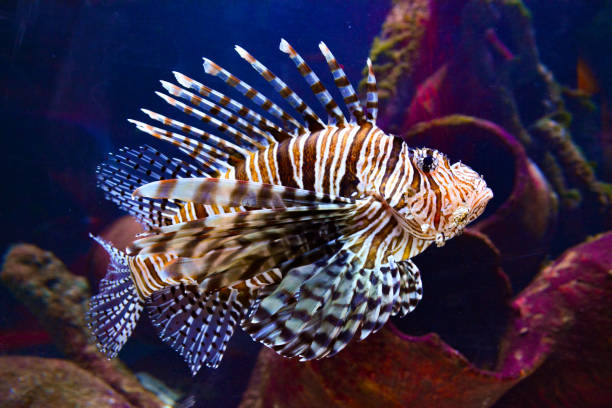 pterois (lionfish) underwater - lionfish stock photos and pictures