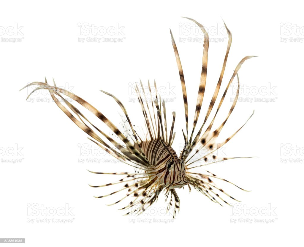 Pterois volitans or red lionfish swimming isolated on white stock photo