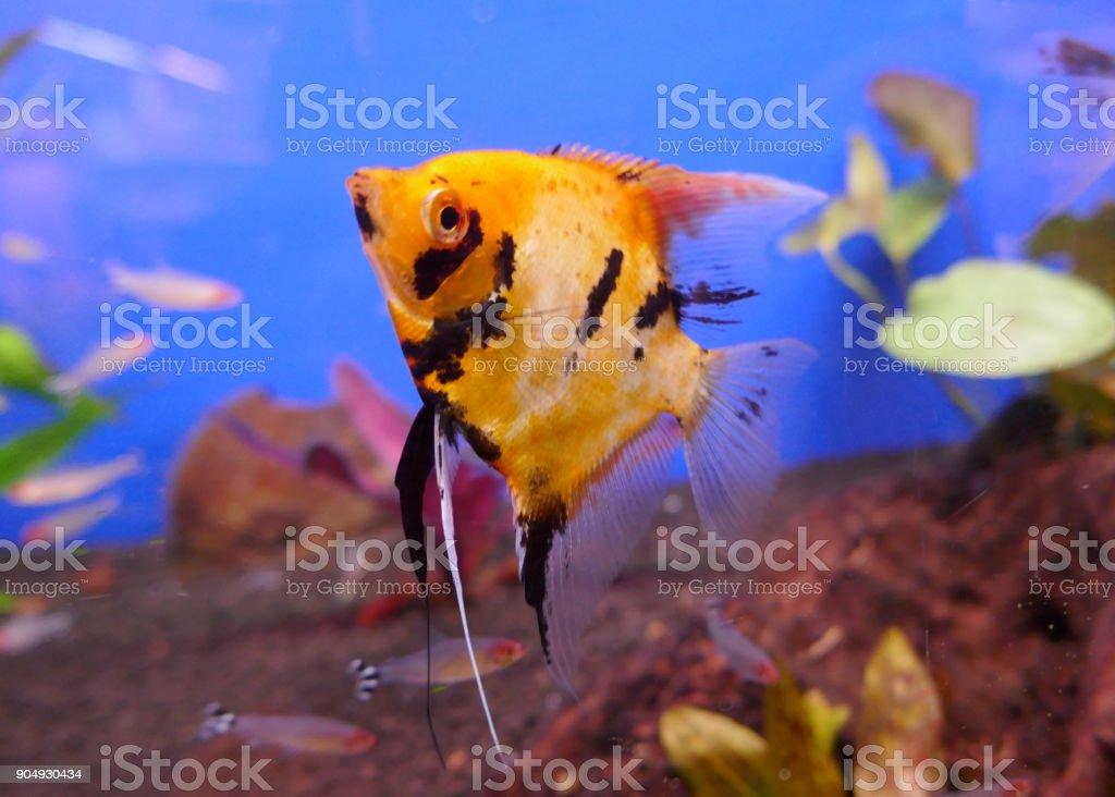 Pterophyllum Scalare Angelfish Red Devil Scalar A Beautiful