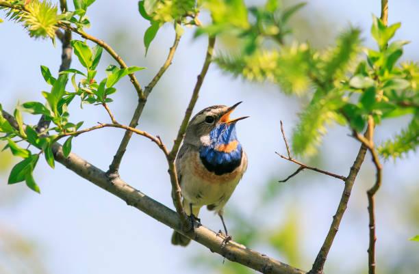 PTIY frappant gorgebleue à miroir mâle assis sur une branche d'arbre et chante qu'une chanson en peut-être se garer sur une journée ensoleillée - Photo