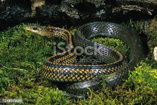 RAT SNAKE ptyas dhumnades, ADULT STANDING ON MOSS