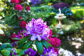 Rhododendrons growing in the Halifax Public Gardens, Halifax, Nova Scotia, Canada