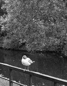Public park seagull on iron fence seabird, Black and white photography