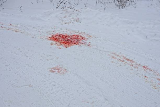 puddles of red blood on the road under the snow stock photo