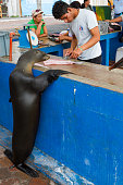 Galapagos sea lions regularly beg for scraps at the popular Puerto Ayora Fish Market, Santa Cruz Island, Galapagos Islands Ecuador
