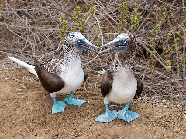Puerto Lopez Ecuador Blue footed booby with offspring stock photo