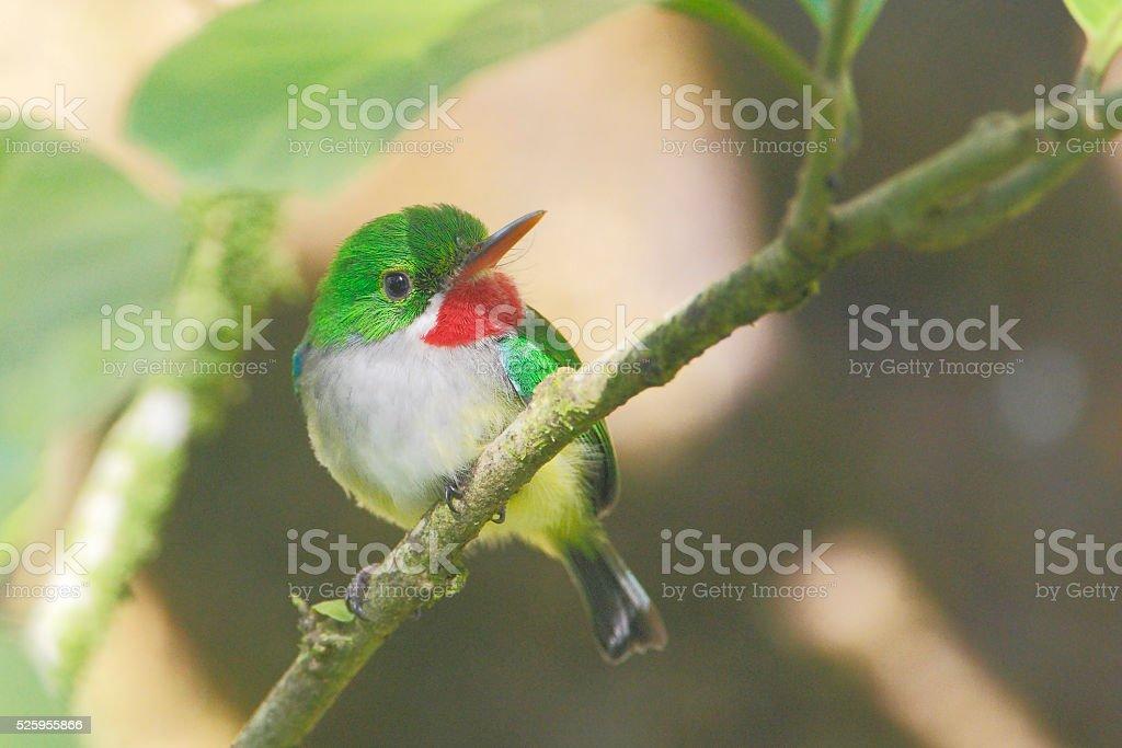 Puerto Rican tody (Todus mexicanus), El Yunque Forest, Puerto Rico stock photo