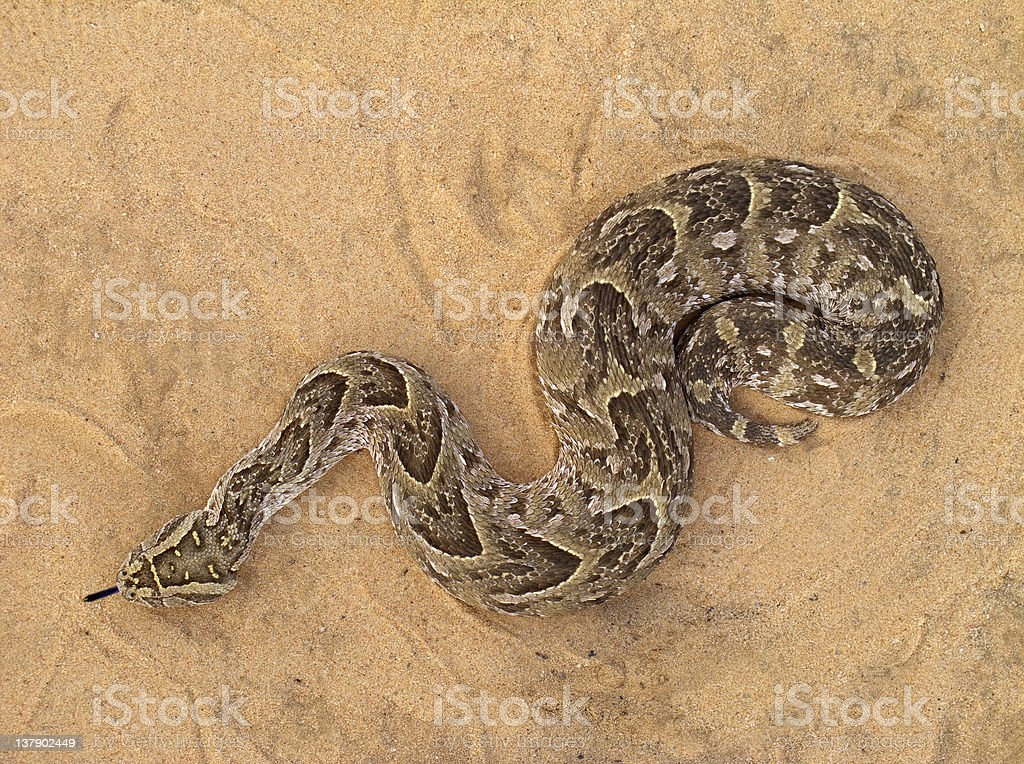 Puff adder stock photo