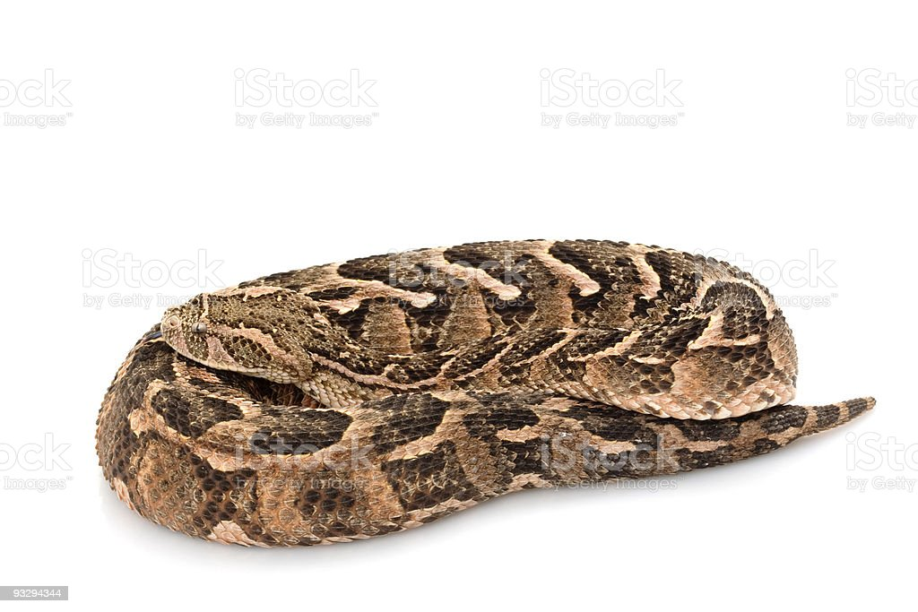 Puff adder royalty-free stock photo