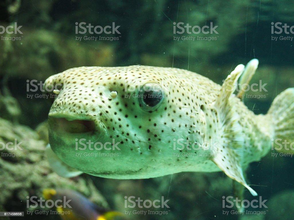 Puff fish funny portrait stock photo