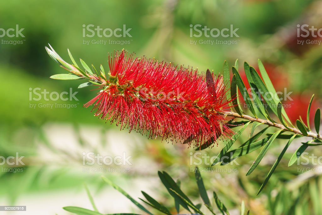 Puffball callistemon, or craniorachischisis, or krasnorichenske (lat. Callistemon) stock photo