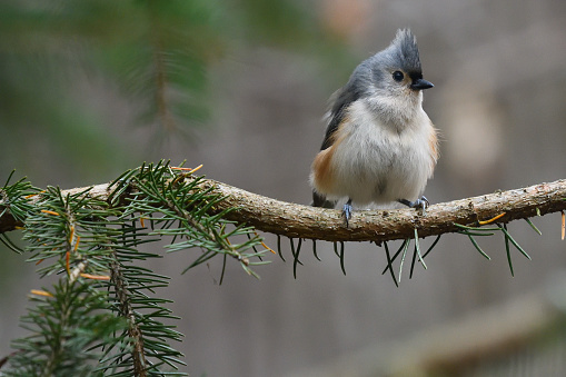 Puffed up tufted titmouse on branch of white spruce tree in the woods of Connecticut
