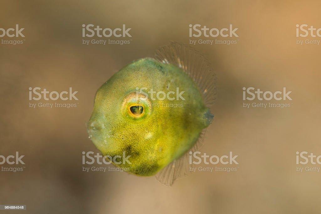 河豚馬面, 少年 - 免版稅Indopacific Ocean圖庫照片