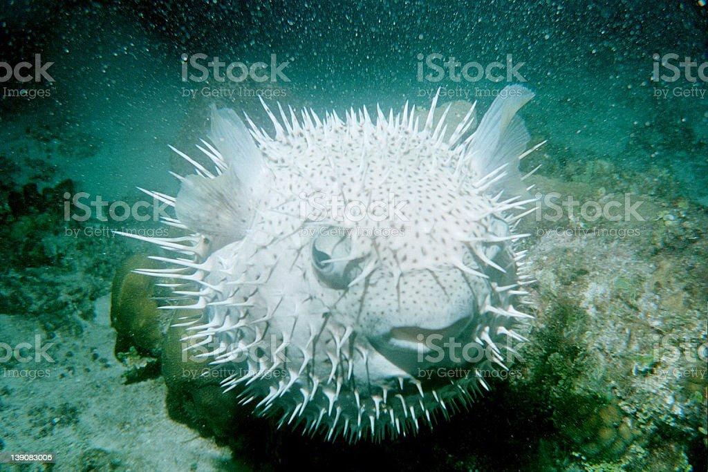 Puffer Fish royalty-free stock photo