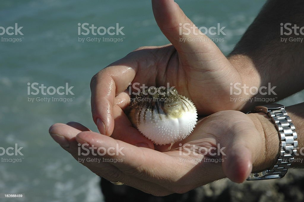 Puffer Fish royalty-free stock photo