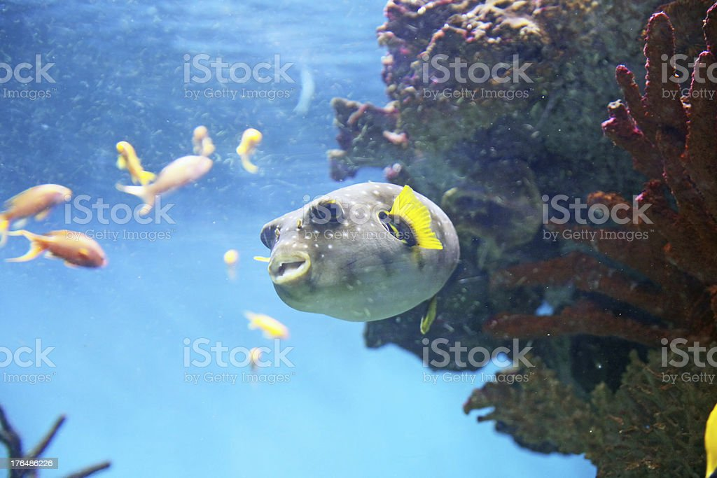 Pufferfish royalty-free stock photo