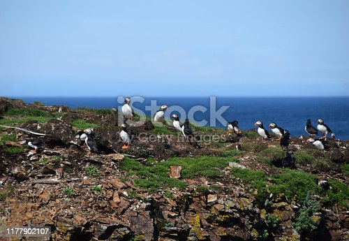 Puffins in their natural environment at the Puffin Site in Elliston, Bonavista Peninsula; Newfoundland and Labrador Canada