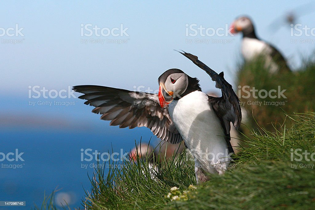 puffin cunductor stock photo