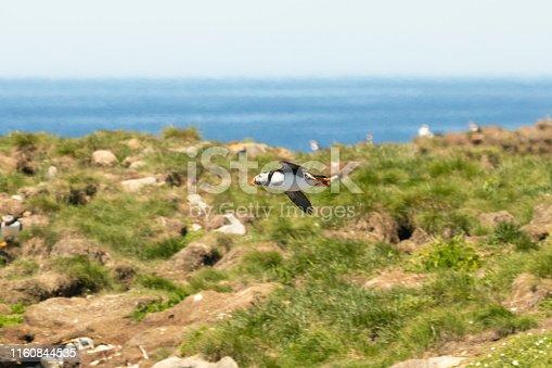 Sea birds on the Island of Elliston during mating season.