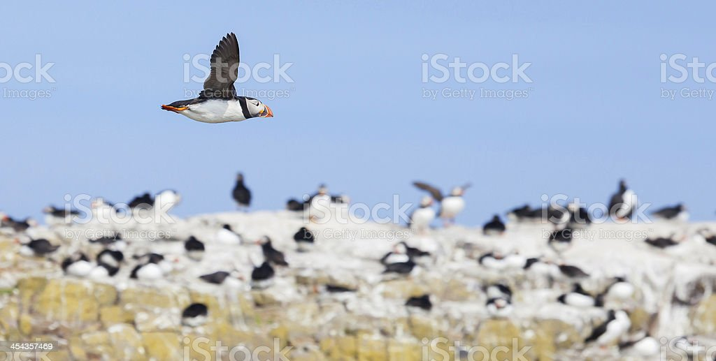Puffin in Flight by cliff royalty-free stock photo
