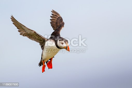 puffin lands on Farne island just off the coast of England near the town of Seahouses - United Kingdom