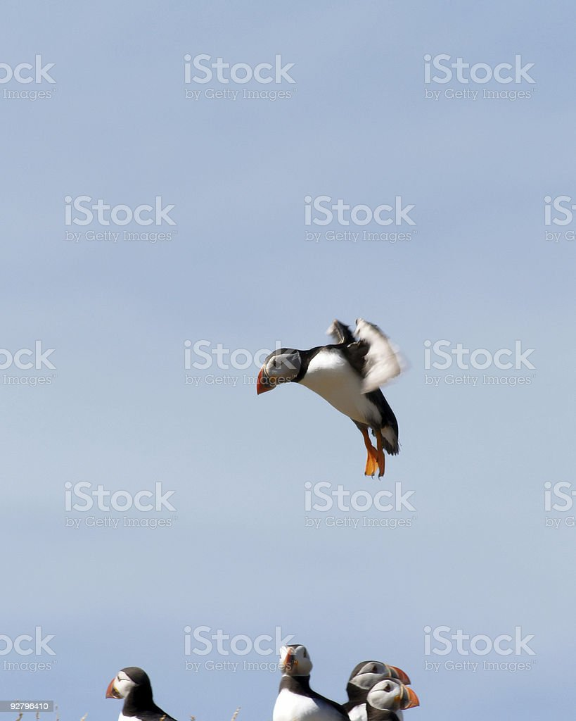 Puffin Landing  (Fratercula arctica) royalty-free stock photo