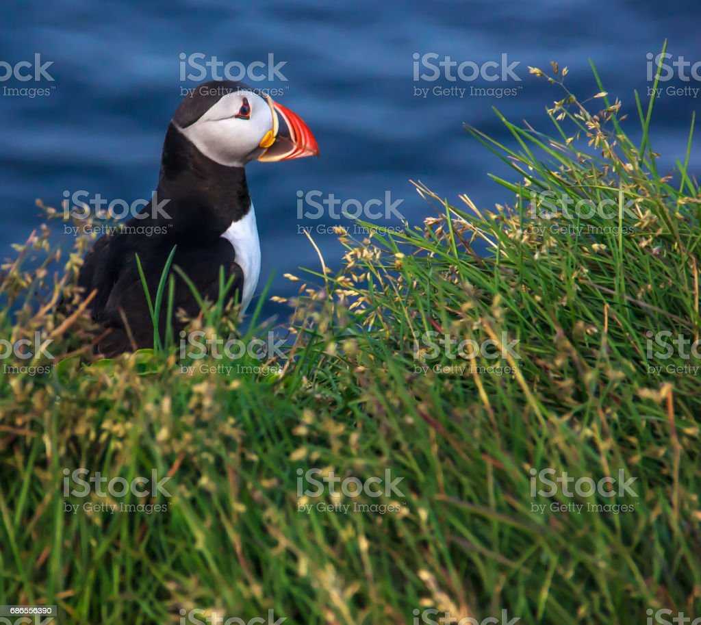 puffin looking sideway on the grass royalty-free stock photo