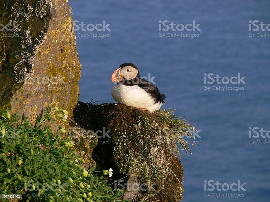 puffin on acliff of iceland Lizenzfreies stock-foto